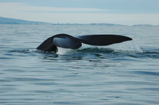 Recovering Right Whales Chart New Course
